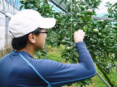 究極の柑橘「せとか」 摘果、玉つり作業後の様子 匠の摘果作業の話_a0254656_19224896.jpg