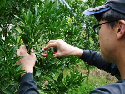 究極の柑橘「せとか」 摘果、玉つり作業後の様子 匠の摘果作業の話_a0254656_19332776.jpg