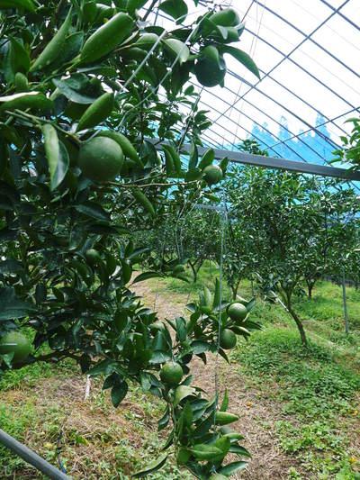 究極の柑橘「せとか」 摘果、玉つり作業後の様子 匠の摘果作業の話_a0254656_19414590.jpg