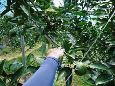 究極の柑橘「せとか」 摘果、玉つり作業後の様子 匠の摘果作業の話_a0254656_19483674.jpg
