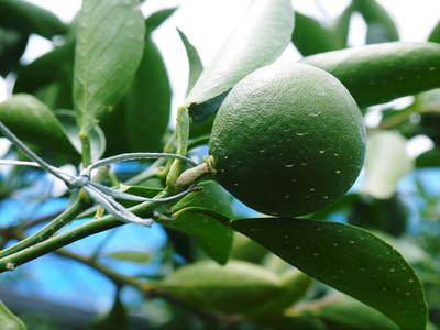 究極の柑橘「せとか」 摘果、玉つり作業後の様子 匠の摘果作業の話_a0254656_1954114.jpg