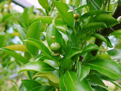 究極の柑橘「せとか」 摘果、玉つり作業後の様子 匠の摘果作業の話_a0254656_19563322.jpg