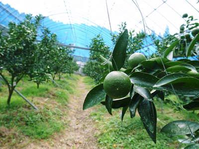 究極の柑橘「せとか」 摘果、玉つり作業後の様子 匠の摘果作業の話_a0254656_20114922.jpg