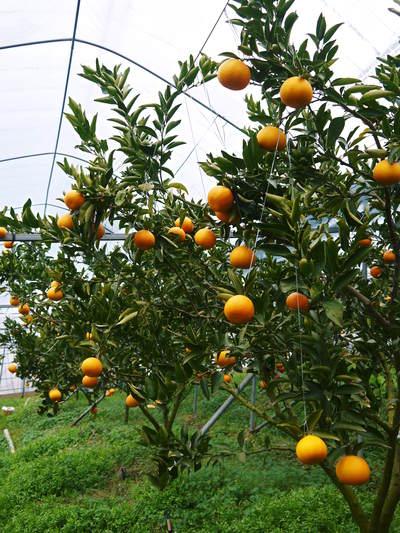 究極の柑橘「せとか」 摘果、玉つり作業後の様子 匠の摘果作業の話_a0254656_20143967.jpg