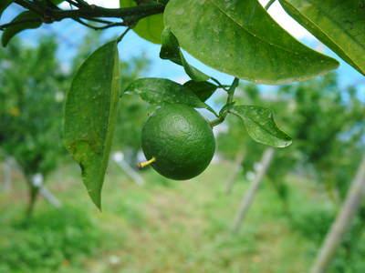 究極の柑橘「せとか」 摘果、玉つり作業後の様子 匠の摘果作業の話_a0254656_2053575.jpg