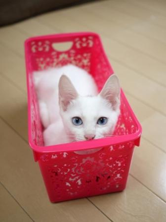 猫のお留守番 ルヴィーちゃん編 + ハリネズミのお留守番 クゥーくん編。_a0143140_21422740.jpg