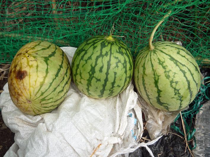 キャベツ、ブロッコリーの苗植え付け&スイカ収穫8・19_c0014967_131420.jpg