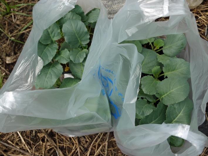 キャベツ、ブロッコリーの苗植え付け&スイカ収穫8・19_c0014967_1321141.jpg
