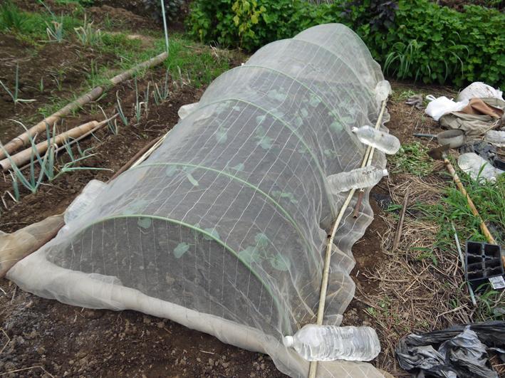 キャベツ、ブロッコリーの苗植え付け&スイカ収穫8・19_c0014967_1323961.jpg