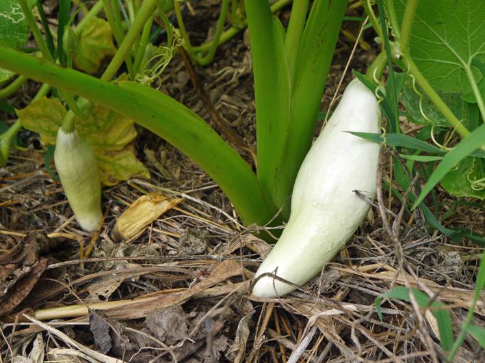キャベツ、ブロッコリーの苗植え付け&スイカ収穫8・19_c0014967_1353970.jpg