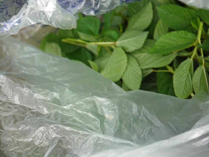 キャベツ、ブロッコリーの苗植え付け&スイカ収穫8・19_c0014967_1355780.jpg