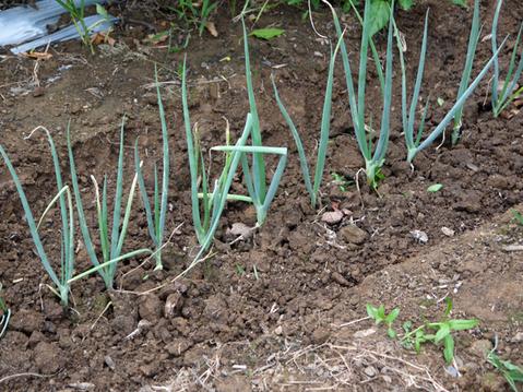 キャベツ、ブロッコリーの苗植え付け&スイカ収穫8・19_c0014967_135666.jpg