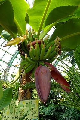 毎日バナナ観察日記_f0203094_14132996.jpg