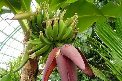 毎日バナナ観察日記_f0203094_1452563.jpg