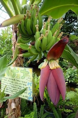 毎日バナナ観察日記_f0203094_1513924.jpg