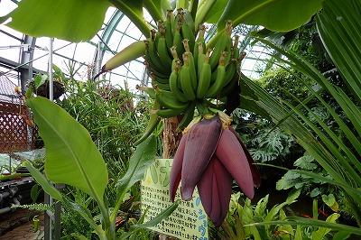毎日バナナ観察日記_f0203094_1522691.jpg