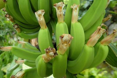 毎日バナナ観察日記_f0203094_1524624.jpg