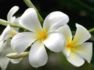 ◆ハワイへ・・・プルメリア&お買い物_e0154682_23450290.jpg