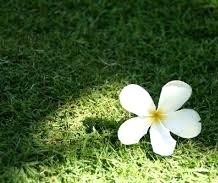 ◆ハワイへ・・・プルメリア&お買い物_e0154682_23591626.jpg