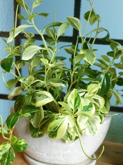植物たちの今~ペペロミア_f0255704_12194679.jpg