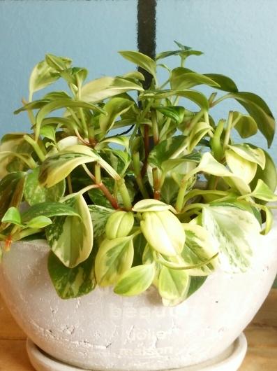 植物たちの今~ペペロミア_f0255704_12194990.jpg