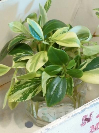 植物たちの今~ペペロミア_f0255704_12195294.jpg