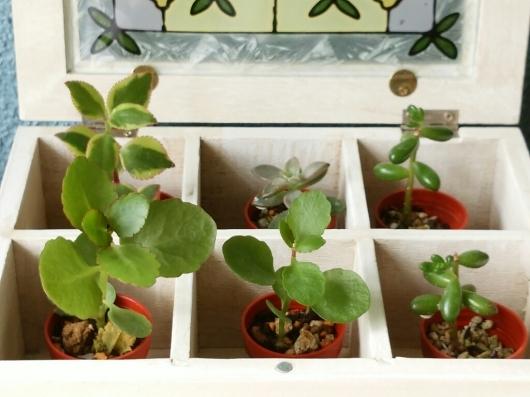 植物たちの今~多肉植物_f0255704_12294575.jpg