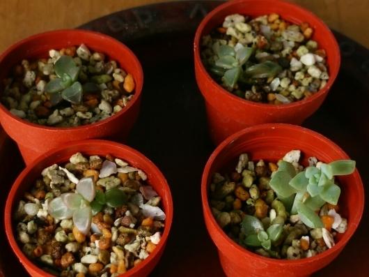 植物たちの今~多肉植物_f0255704_12295025.jpg