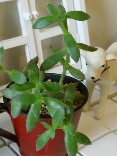 植物たちの今~多肉植物_f0255704_12295365.jpg