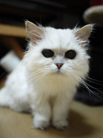 猫のお留守番 ぴーちちゃん編。_a0143140_22261281.jpg