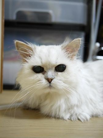 猫のお留守番 ぴーちちゃん編。_a0143140_22275482.jpg