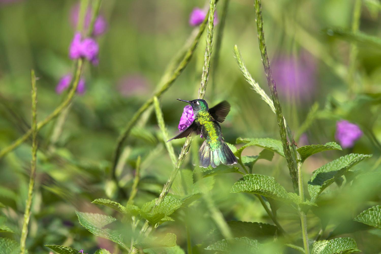 スミレガシラハチドリ Violet-headed Hummingbird_d0013455_958663.jpg
