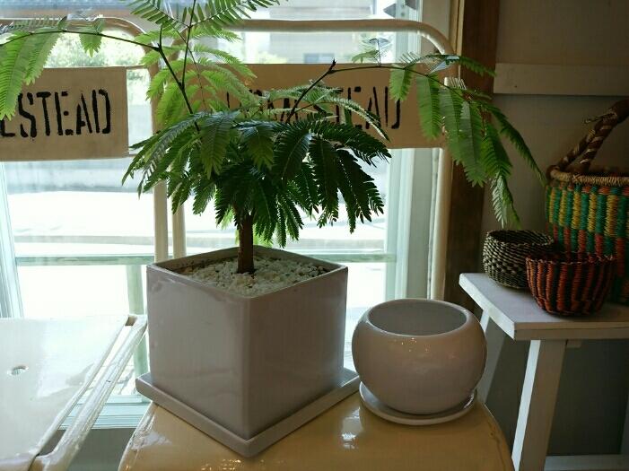 植物たちの今~エバーフレッシュ_f0255704_12231871.jpg