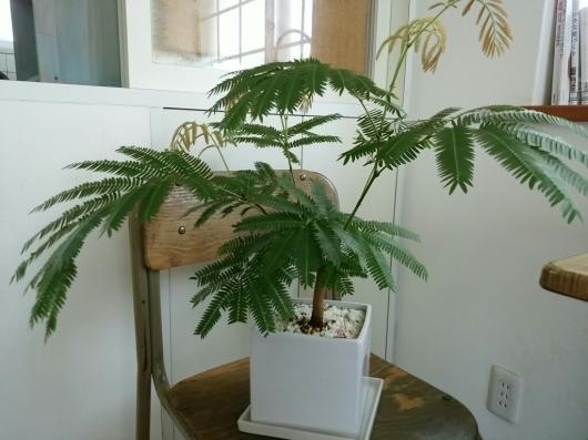 植物たちの今~エバーフレッシュ_f0255704_12232223.jpg