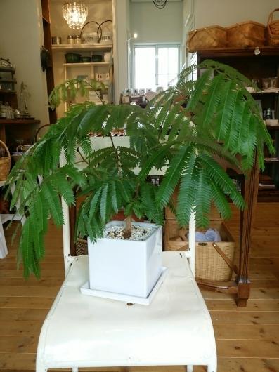植物たちの今~エバーフレッシュ_f0255704_12233687.jpg