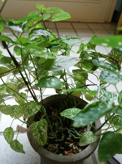 植物たちの今~ヒポエステス_f0255704_23315467.jpg