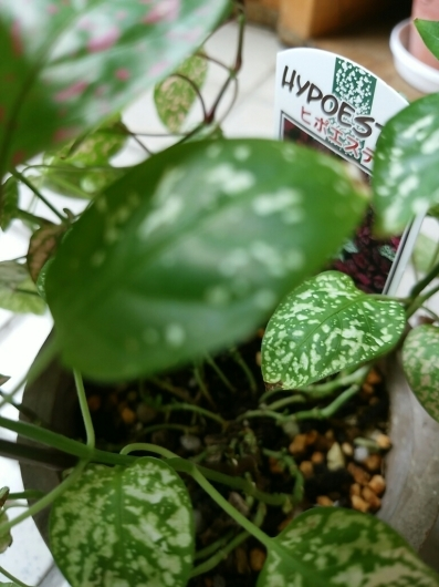 植物たちの今~ヒポエステス_f0255704_23315822.jpg