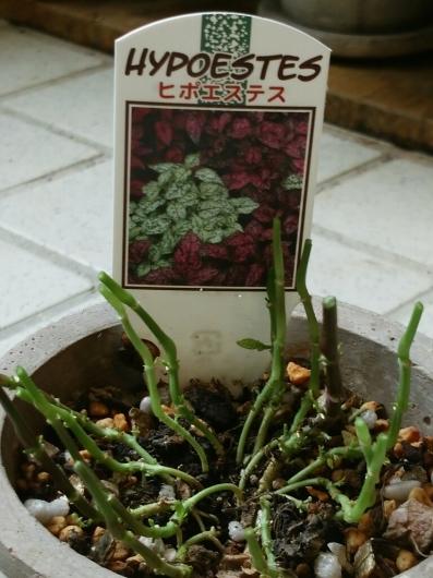 植物たちの今~ヒポエステス_f0255704_23320233.jpg