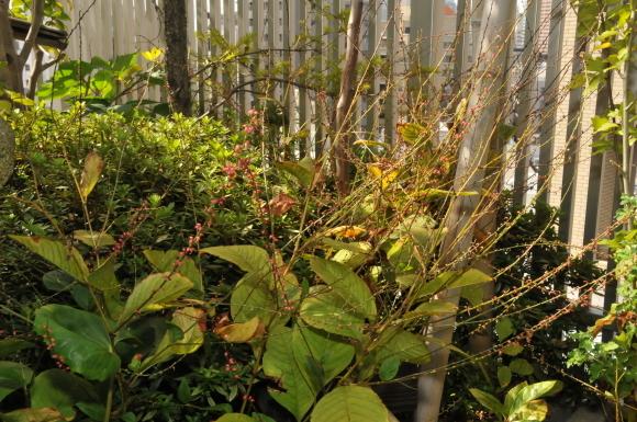 ベランダ茶花園 掲載協力しました。_d0334837_23180143.jpg