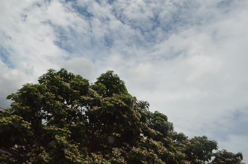 クサギの木。_b0207642_8582762.jpg