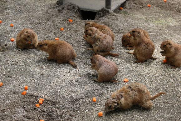 のいち動物公園のプレーリードッグの食事風景