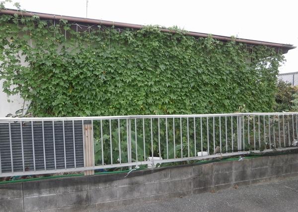 ゴーヤのグリーンカーテン完成&ササゲのグリーンカーテンも_f0018078_18253654.jpg
