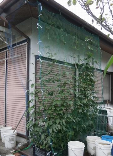 ゴーヤのグリーンカーテン完成&ササゲのグリーンカーテンも_f0018078_18255486.jpg
