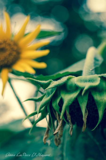 花のある風景 枯れ始めの向日葵_b0133053_0221665.jpg