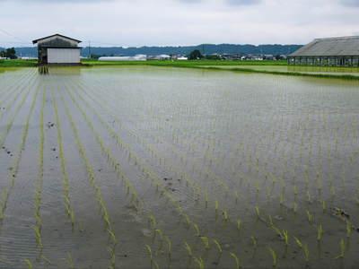 無農薬の『雑穀米』、『発芽玄米』の販売に向けて! その1_a0254656_20205273.jpg