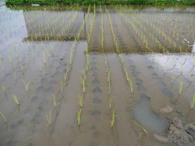 無農薬の『雑穀米』、『発芽玄米』の販売に向けて! その2_a0254656_16503581.jpg