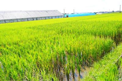 無農薬の『雑穀米』、『発芽玄米』の販売に向けて! その2_a0254656_1834462.jpg
