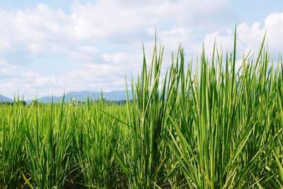 無農薬の『雑穀米』、『発芽玄米』の販売に向けて! その2_a0254656_18394867.jpg