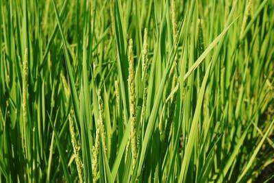無農薬の『雑穀米』、『発芽玄米』の販売に向けて! その2_a0254656_18425691.jpg