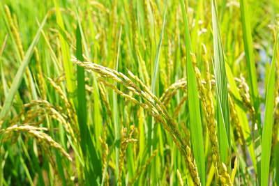 無農薬の『雑穀米』、『発芽玄米』の販売に向けて! その2_a0254656_18453281.jpg